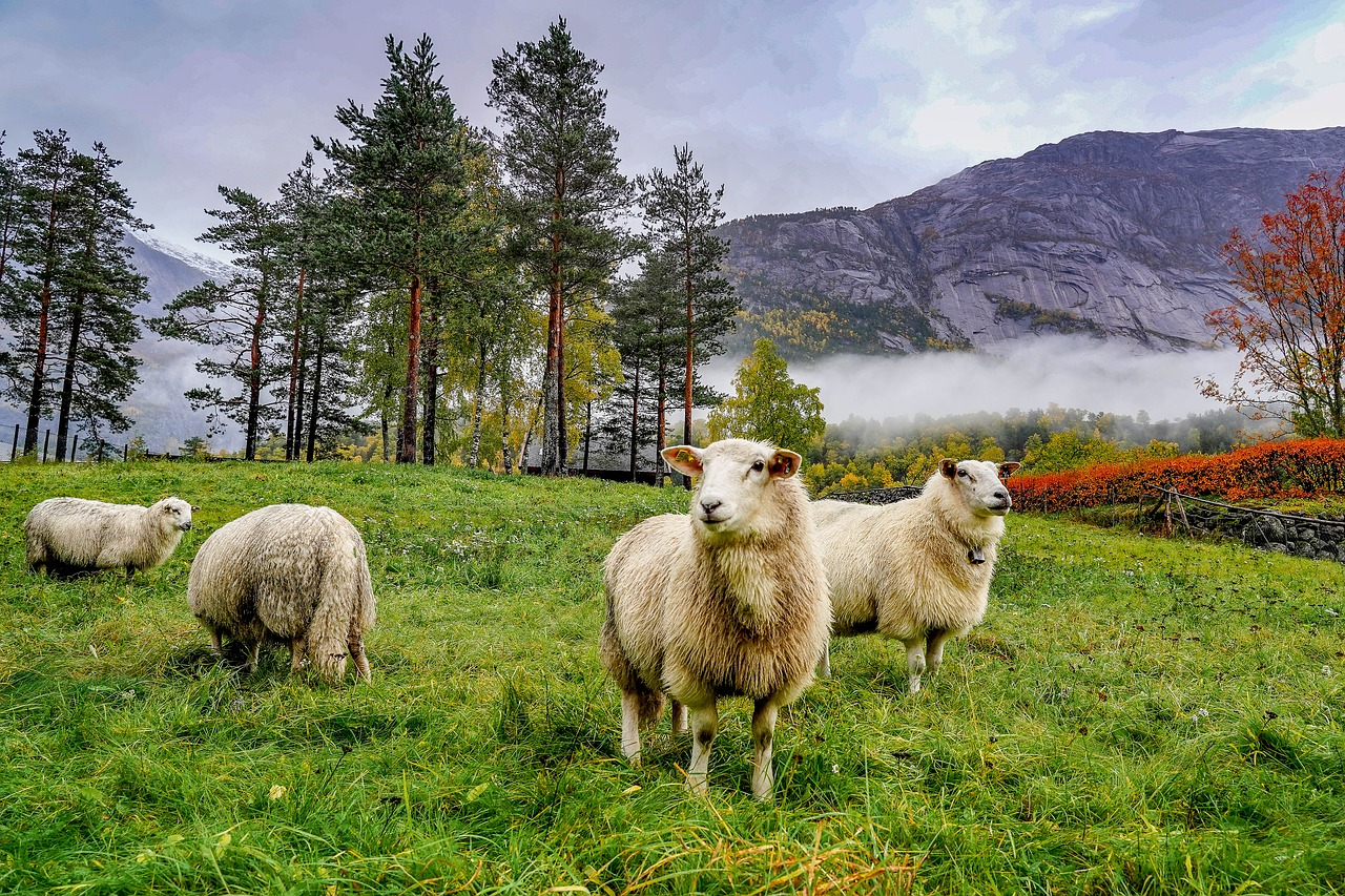 Qué comer en Noruega. Ovejas pastando