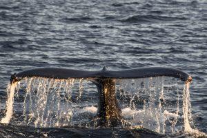 Ballenas en Akureyri - Islandia