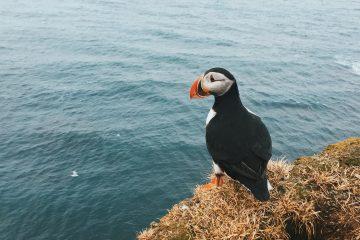 Frailecillo Islandia Fiordos Oeste