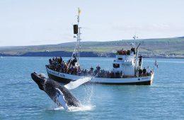 Avistamiento de cetáceos en Islandia