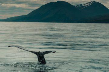Avistamiento ballenas en Islandia