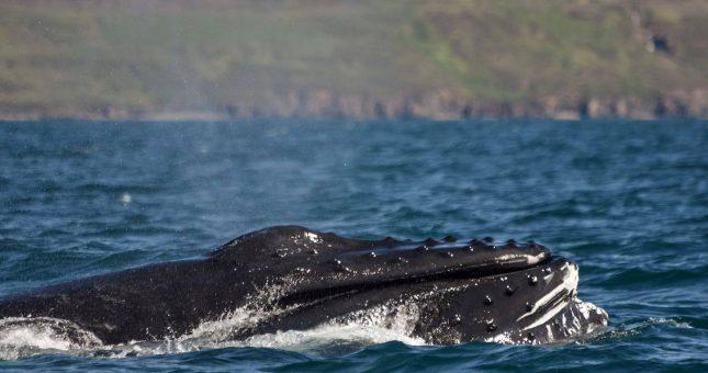 Avistamiento de ballenas desde Akureyri en zódiac - Islandia